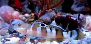 Eine zu Beginn sehr schreckhafte Grundel. Das Aquarium benötigt unbedingt eine Abdeckung.