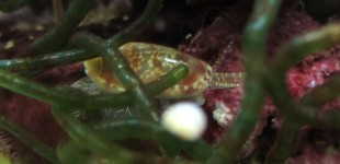 Die Volvarina Schnecke lebt sehr versteckt und kommt erst nachts heraus.