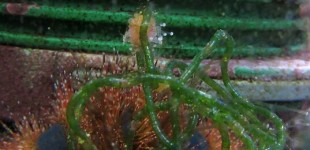 Kleine Anemone im Gepäck des Kugel-Seeigels.