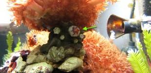 Der kleine Rote Asterina Seestern frisst die Polypen einer Galaxea Steinkoralle.