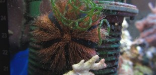 Kugel Seeigel putzt permanent Algen