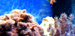 Auch so eine flauschig wirkende Koralle besitzt lange Nesselfäden.
