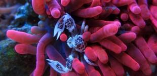 Eine wunderschöne Entacmea quadricolor mit Neopetrolisthes ohshimai