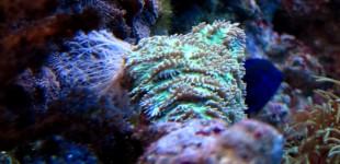 Diese Großpolypige Steinkoralle besitzt starke Nesselzellen