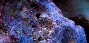 Die Käferschnecke lebt tagsüber versteckt in diesem Loch.