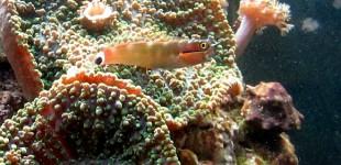 Ein niedlicher kleiner Fisch für nano Becken.