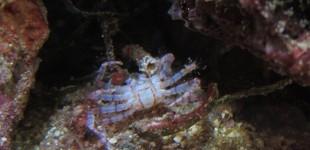 Sieht aus wie eine verstorbene Krabbe, ist aber nur die leere Hülle.