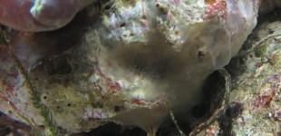 wächst im Dunkeln unter einer Scheibenanemone