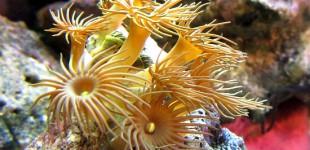 Gelbe Krustenanemonen.Ich habe in beide Aquarien eine Gruppe plaziert.