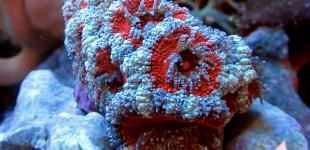 Koralle neu 3