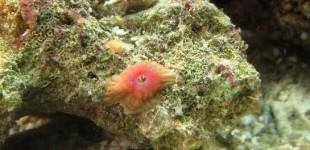 kleine Korallenanemone