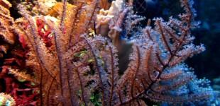 Eine einfach zu haltende Hornkoralle, die gern in der Strömung steht.