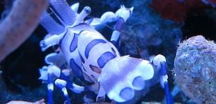 Harlekin Shrimp schaut nach hinten