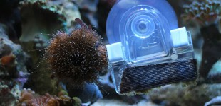 Die erreichbaren Algen wurden aufgefressen. Nichts mehr zu holen für den kleinen Seeigel.