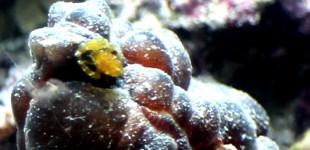 unbekannter Ascidian shrimp