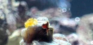Seescheiden Garnele - ein kleiner Hitchhiker