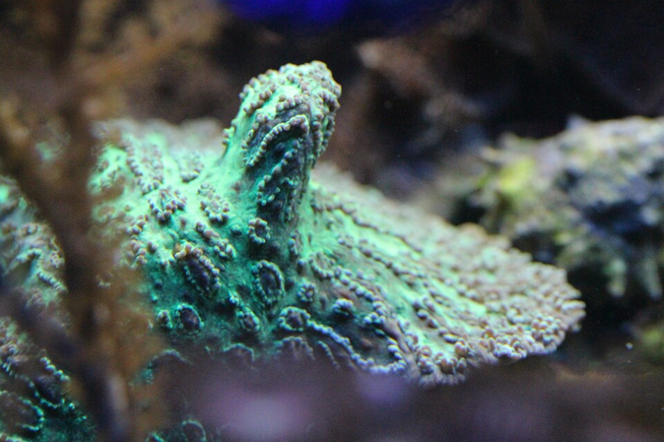 Hydnophora pilosa