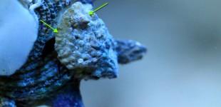 Hipponix Schnecken wachsen oft übereinander