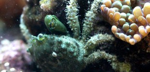 Mithraculus sculptus - grüne Spinnenkrabbe