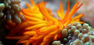 Phestilla melanobrachia - eine wunderschöne Nacktschnecke