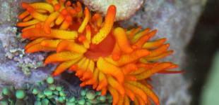 Phestilla melanobrachia - eine Korallen fressende Nacktschnecke