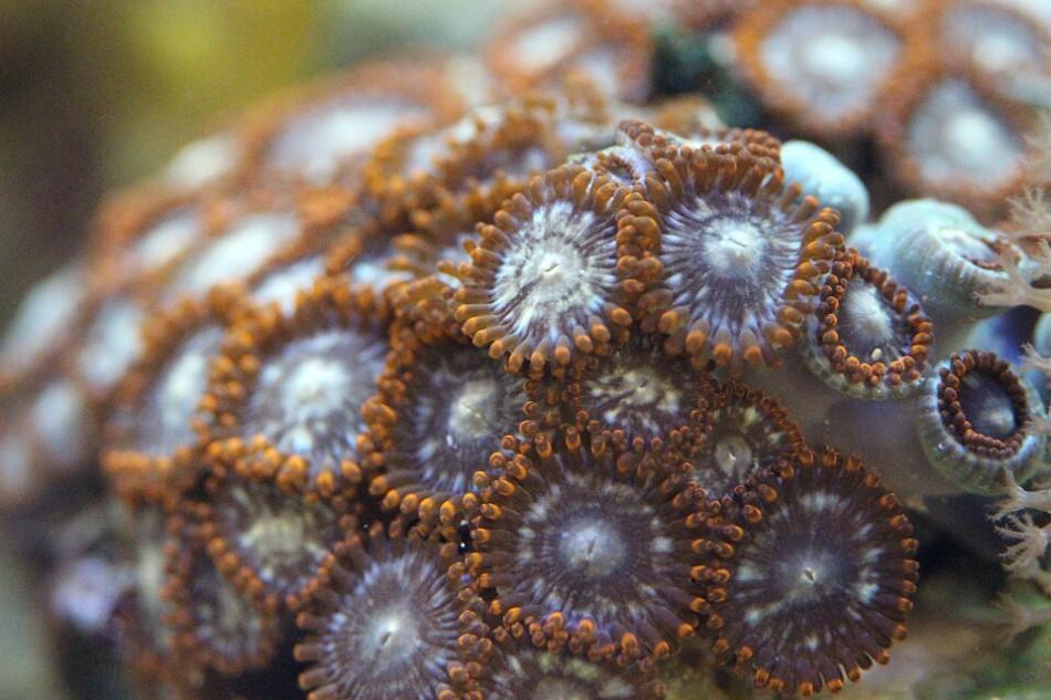 braune Zoanthus Krustenanemonen