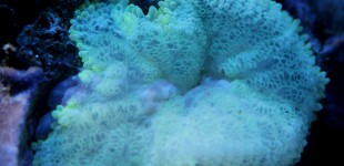 MinaMax Anemone - ausgeblichen, nimmt langsam wieder Zoxanthellen auf