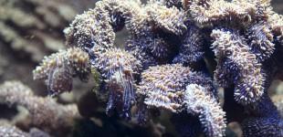 polyp-bail-out- vegetative Vermehrung bei Pavona decussata durch Polypenausbürgerung