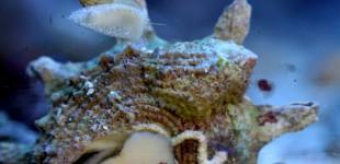 Hipponix Schnecke auf einer Astralium Schnecke