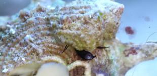 Hipponix raspelt die Aquarienscheibe ab