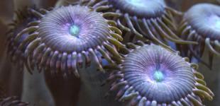 Palythoa Krustenanemone - Alien Explosion Macroaufnahme