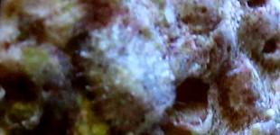 unbekannt - auf der Unterseite eines Schneckengehäuses