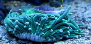 Heliofungia actiformis futter einen halben Stint (kleiner Futterfisch).