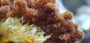 Pocillopora damicornis - Himbeerkoralle