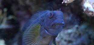 Schleimfisch - mein Liebelingsfisch