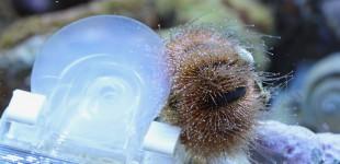 Der Seeigel wollte zu gern die Futterklammer mitnehmen- sie war aber sehr schnell viel zu schwer.