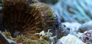 Porzellankrebse leben gern auf nesselnden Tieren, die ihnen Schutz bieten