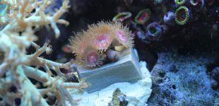 Diese rosa Palythoa sp.sind extrem klein (ca. 1 cm).