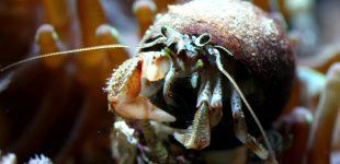 Pagurus bernhardus - Gemeiner Einsiedlerkrebs aus der Nordsee