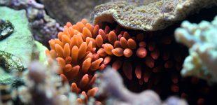 Kupferanemone ist keine Symbioseanemone für Clownfische