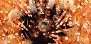 Seeigel- macro (Mund, Stacheln, Füsse)