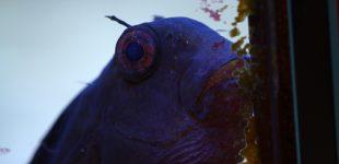 Atrosalarias fuscus - Schleimfisch