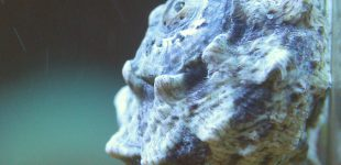 Lunella coronata ist ein guter Algenfresser