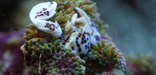 Porzellankrebs und MinMax Anemone (Stichodactyla sp.)