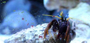 Calcinus morgani, Blauaugen-Koralleneinsiedlerkrebs