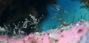 Foraminiferen - Kammerlinge, Einzeller