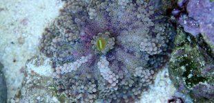 Ricordea yuma - eine absolut schöne Scheibenanemone