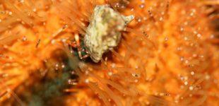 Seeigel hält den kleinen Stein mit seinen Saugfüsschen fest (Makroaufnahme)